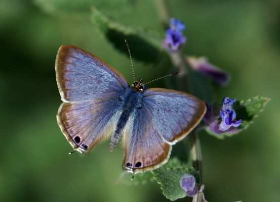 HH Motýľ Long tailed blue butterfly