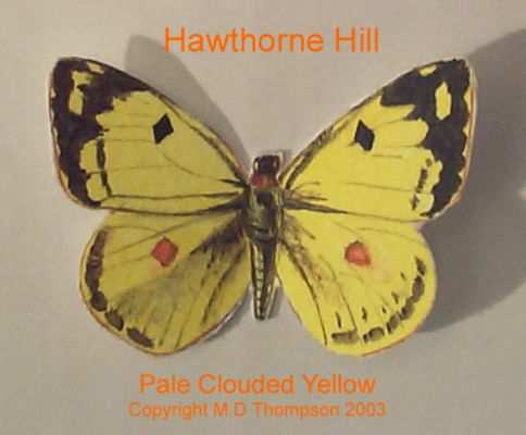 HH Motýľ Pale clouded yellow